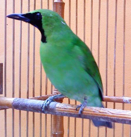 Dunia Burung Kicau - Ajilbab.Com Portal